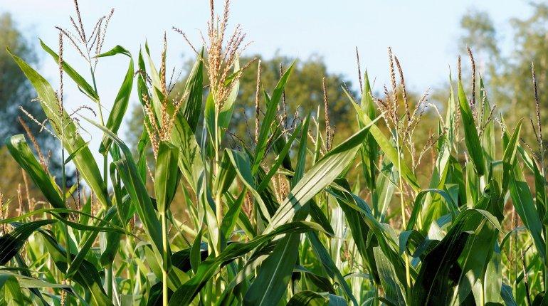 1522055319_2466_corn-436654_1920